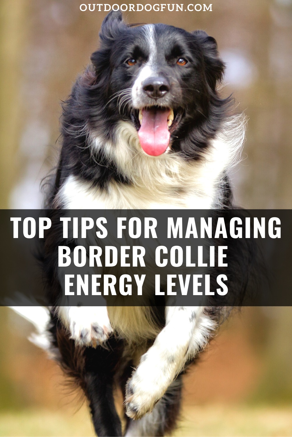Top Tips For Managing Border Collie Energy Levels In 2020 Border Collie Puppy Training Collie Border Collie