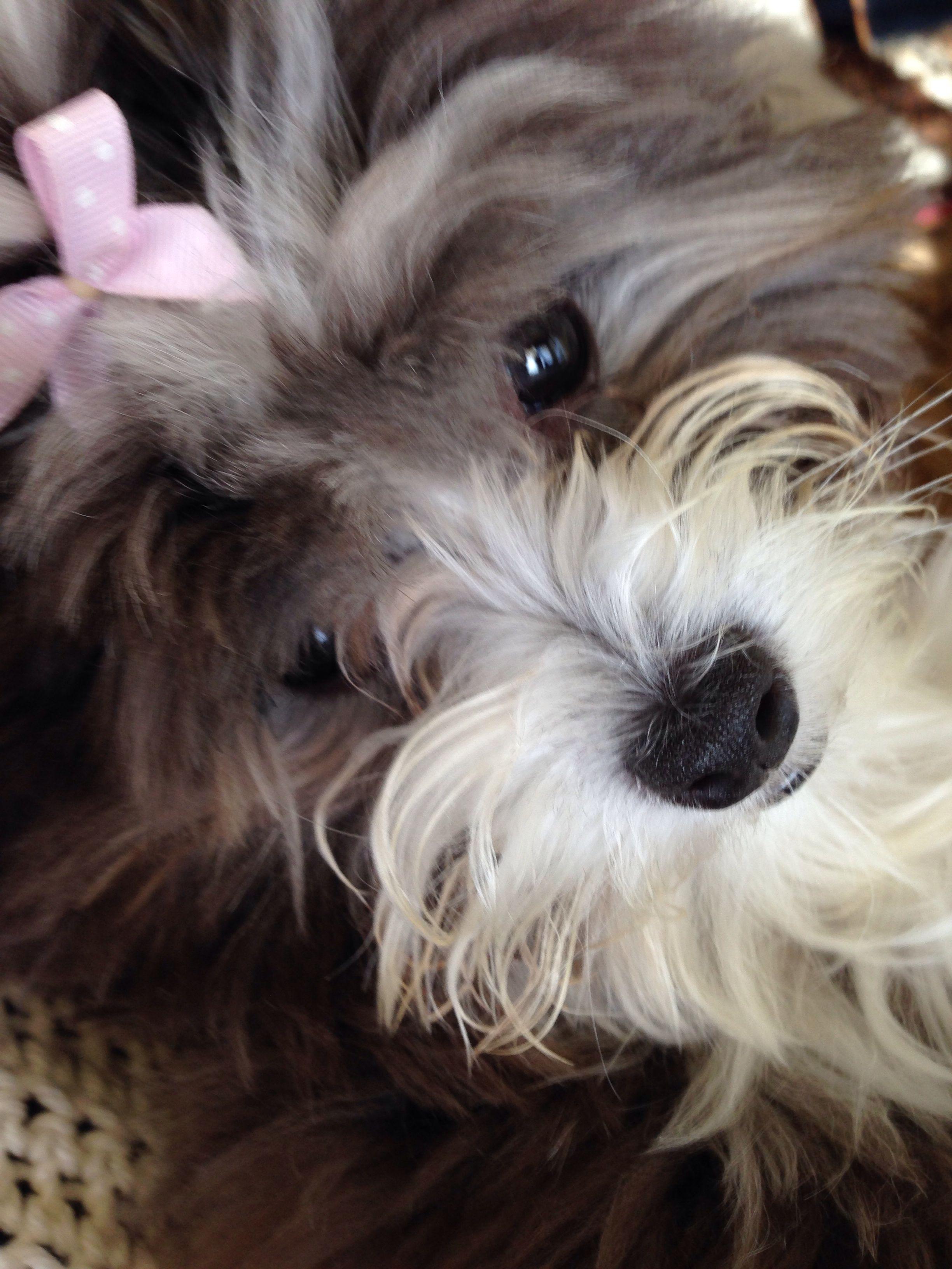 Havenese Havanese, Havanese dogs, Best dog breeds
