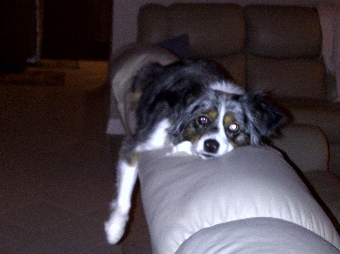 Keely (now Savvy) my Mini Aussie Rescue and Support Foster