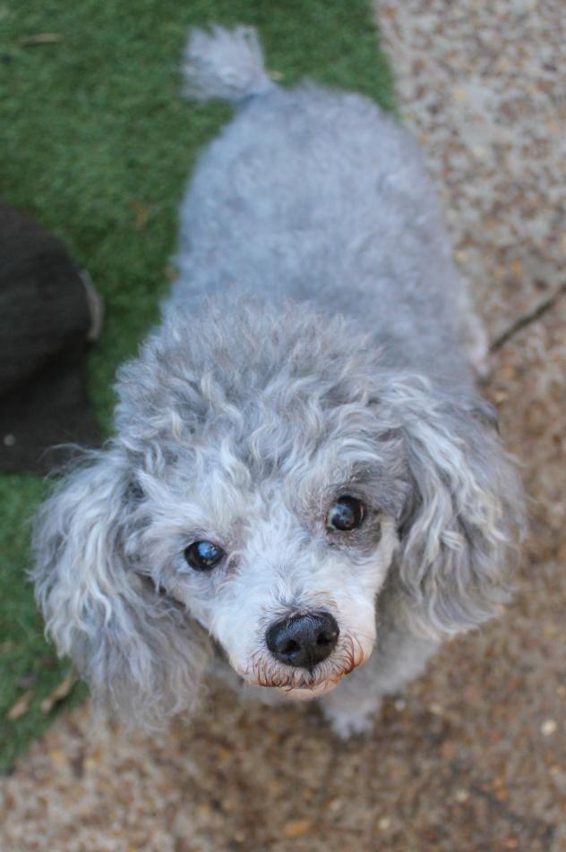 Adopt Frenchie On Poodle Dog Animal Rescue Animals