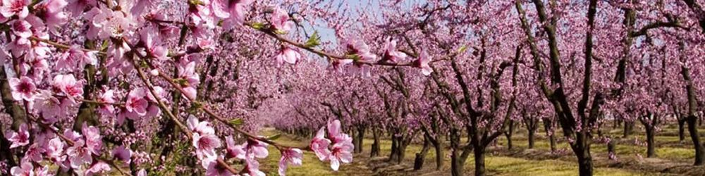 Cherry Trees Come Into Maximum Yield At 6 7 Years Of Age Global Green Cherry Green Cherries Green Global