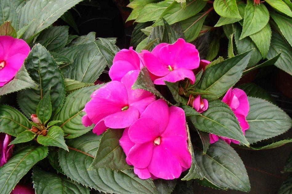 Niecierpek Nowogwinejski Flowers Plants Garden