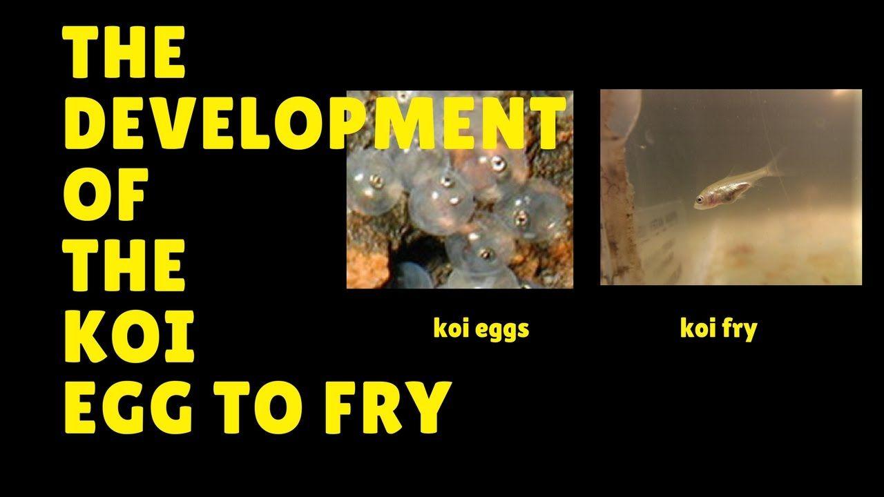 The Development Of The Koi Egg To Fry Koi Koi Fish Empty Pill Bottle Crafts