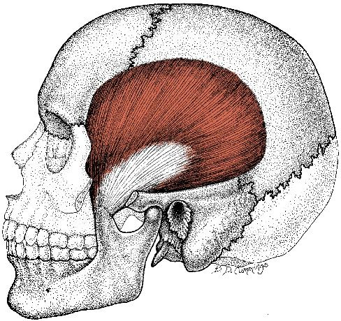「temporal muscle」の画像検索結果