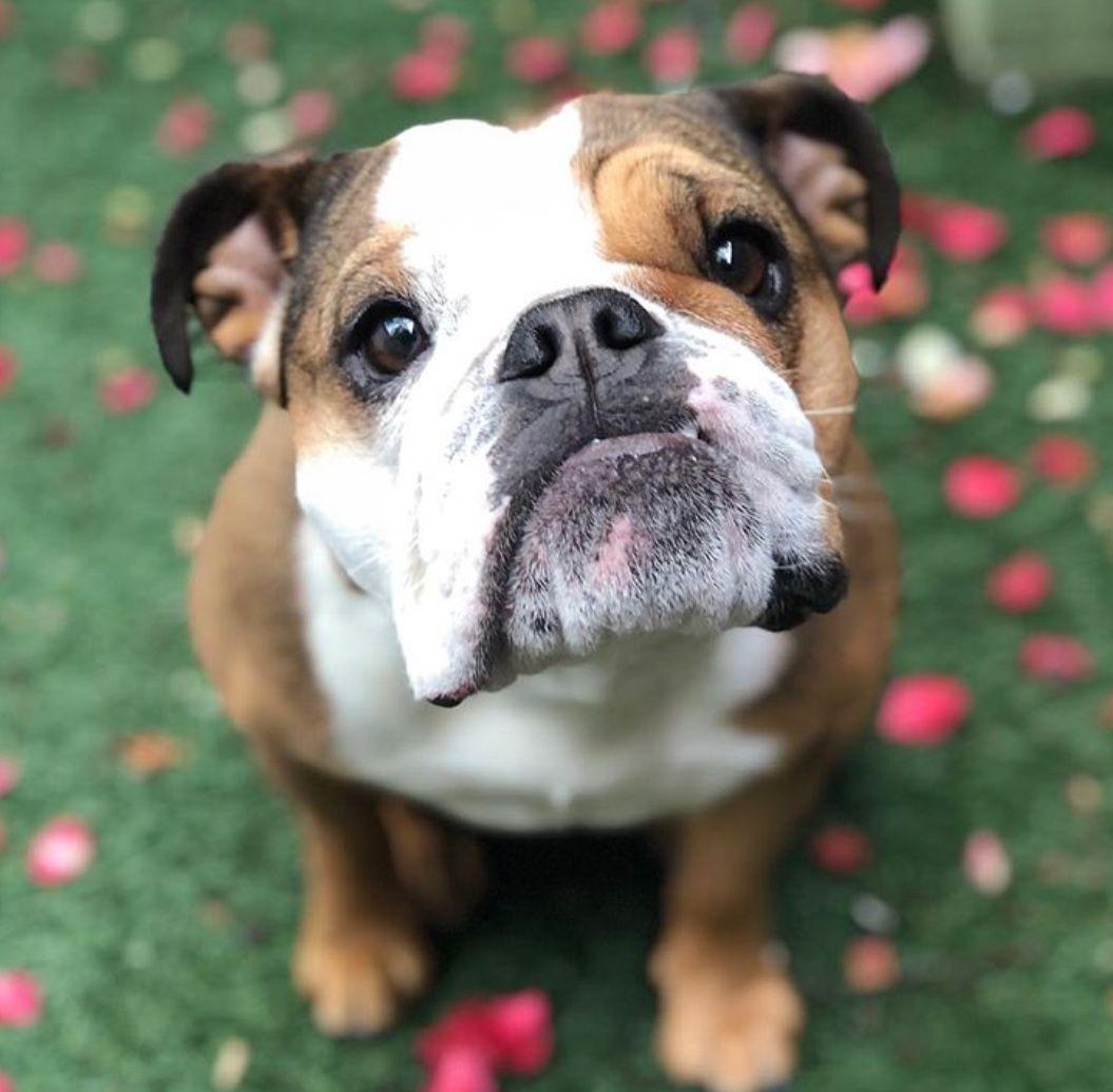 Pin By Janice Crandall On Oeb Bulldog Pics Pitbull Mix Puppies