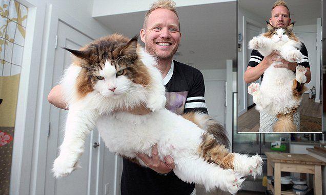 Meet New York S Biggest Cat Who Has 104 000 Instagram Followers Cats Big Cats Giant Cat