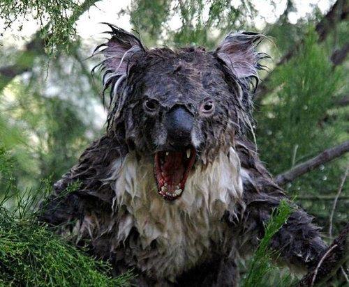 very angry Koala