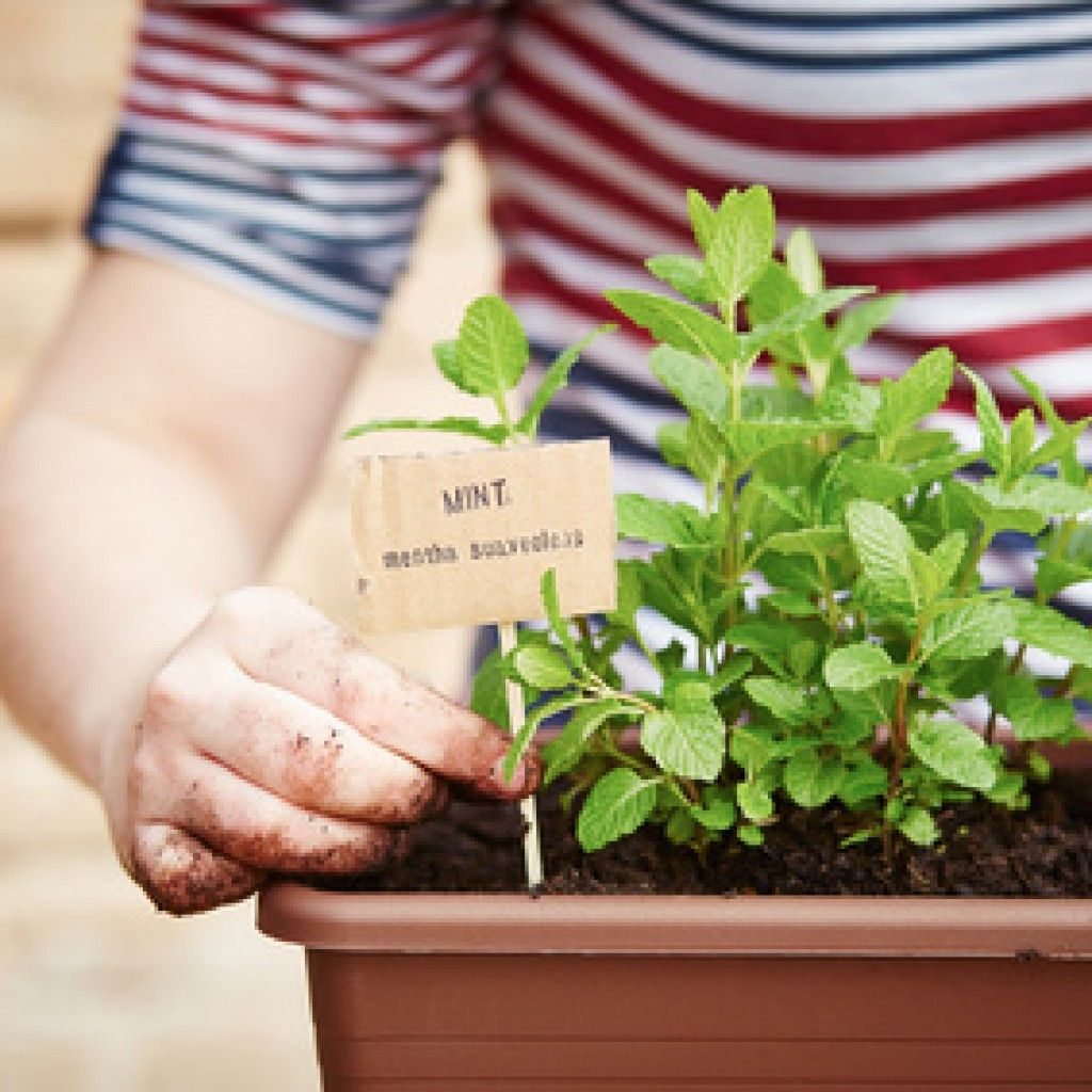 Planter Menthe En Pot cliquez pour découvrir comment cultiver très simplement vos