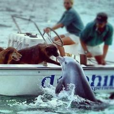 Amazing Dolphin Kiss     Amazing Dolphin Kissing a Dog on a Boat...dolphins are merely just dogs in water