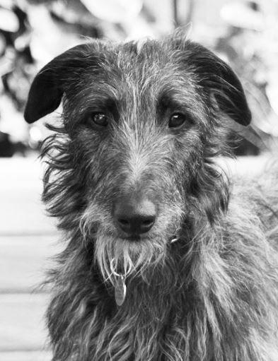 Grace the Deerhound | Irish dog breeds, Irish dog, Deerhound