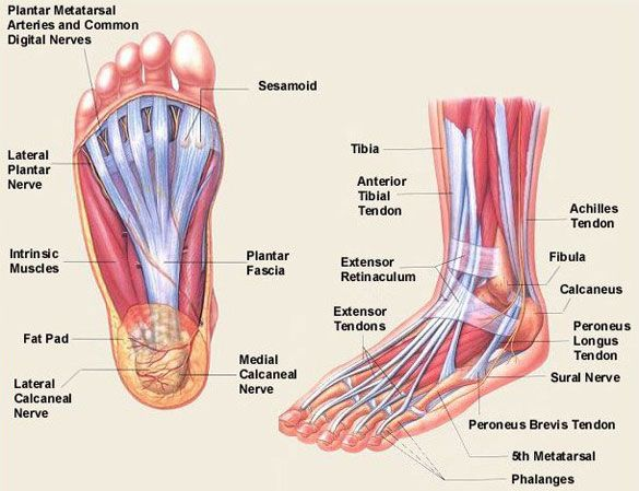 Foot Anatomy Foot And Ankle Bones Ligaments Tendons And More