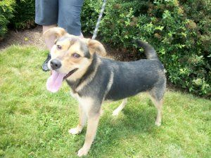 Rocky Urgent Guest Is An Adoptable German Shepherd Dog Dog In