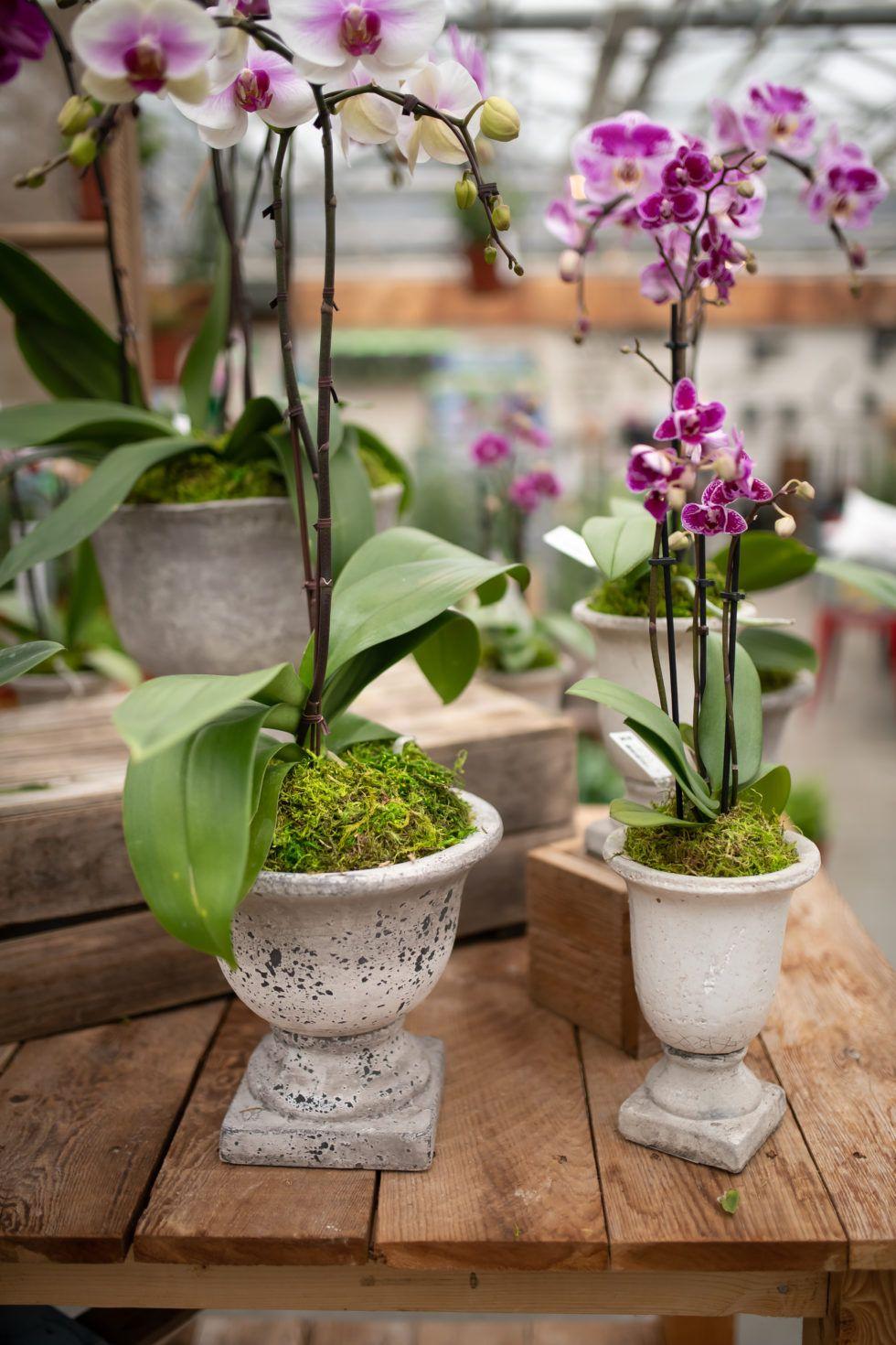 Moss Pedestal Orchids Potted plant centerpieces, Plant