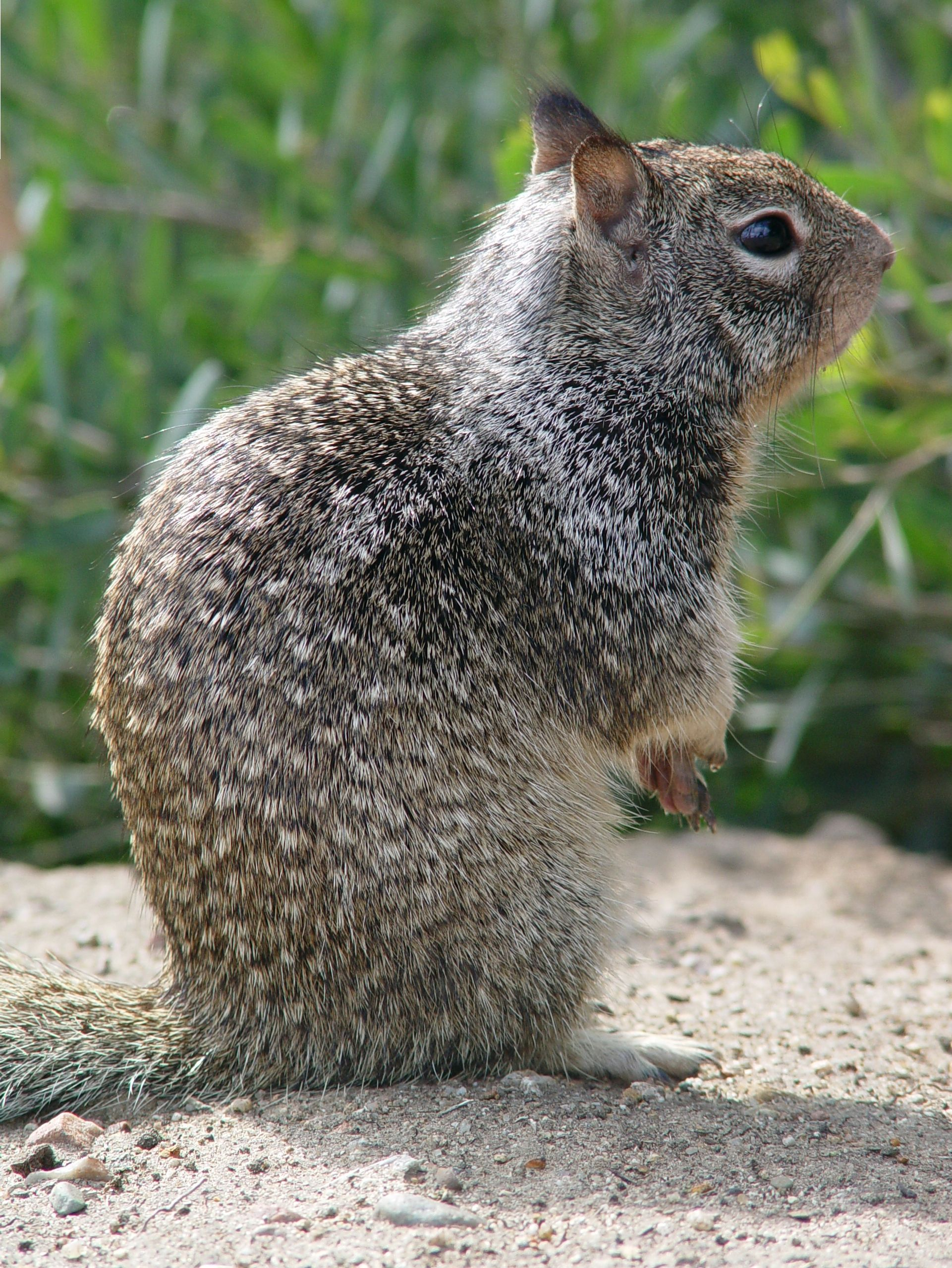 California ground squirrel ground squirrel squirrel