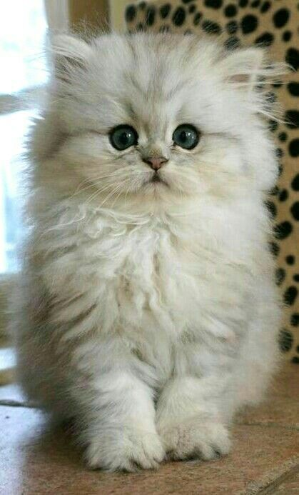 Oldest living persian cat