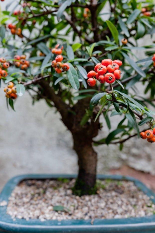Bonsai é uma técnica japonesa de transformar árvores em miniaturas. Em  casaejardim.com.br 33acf9d56bc