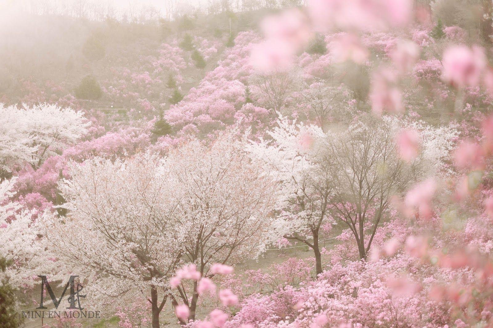 Bucheon Wonmisan Azalea Festival 원미산 진달래 축제 Azalea Festival South Korea Travel Spring Flowers