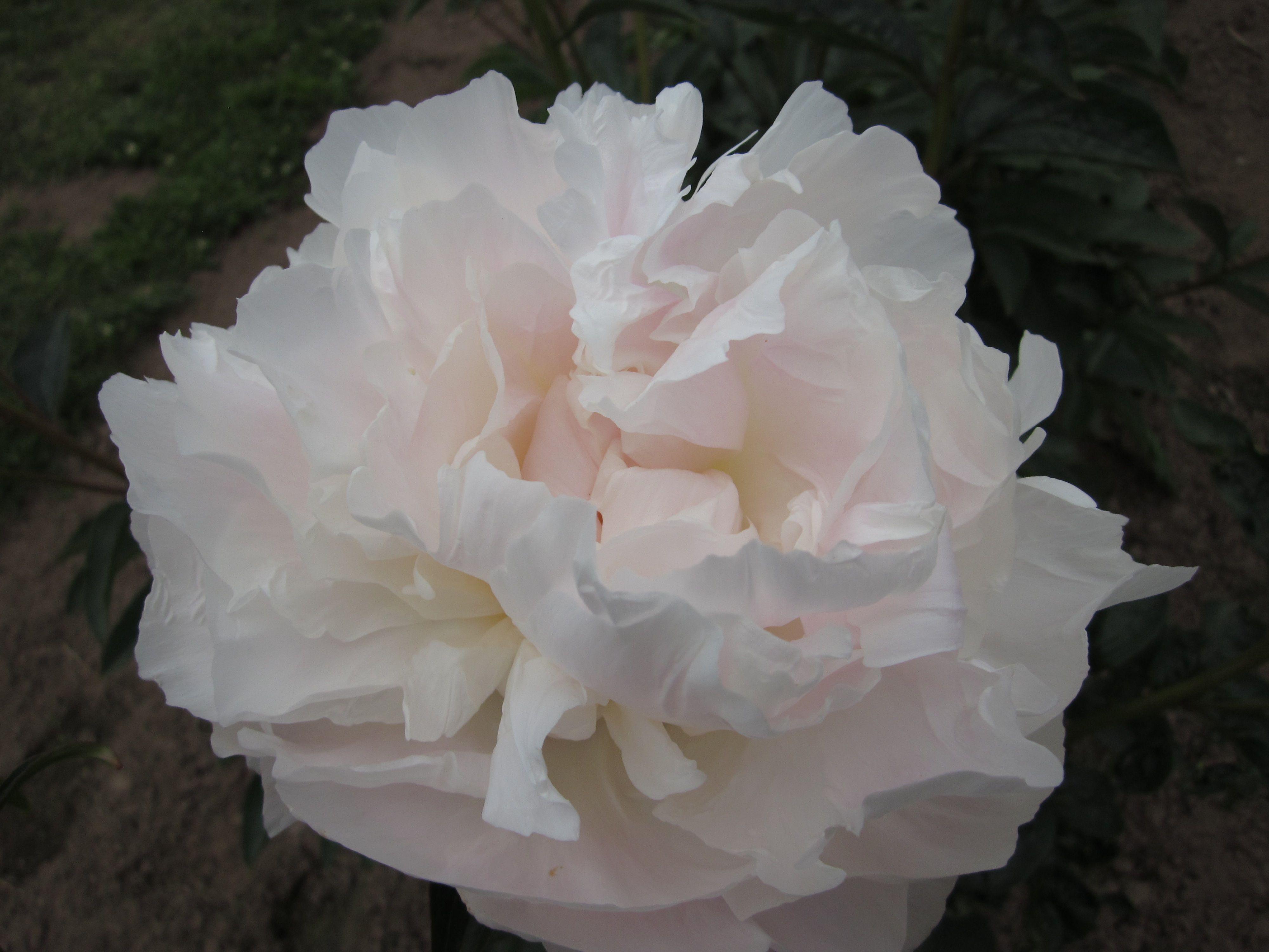 Camillia white peony fabulous flower fabulous fragrance peonies camillia white peony fabulous flower fabulous fragrance mightylinksfo