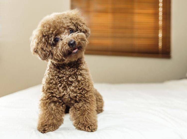 Toypudel Russkiy Toy Und Co Wofur Steht Das Toy Pudelanzeigen On Twitter Pudel Kaufen Susse Teacup Pudel In T In 2020 Dog Breeds Toy Poodle Dog Breeds That Dont Shed