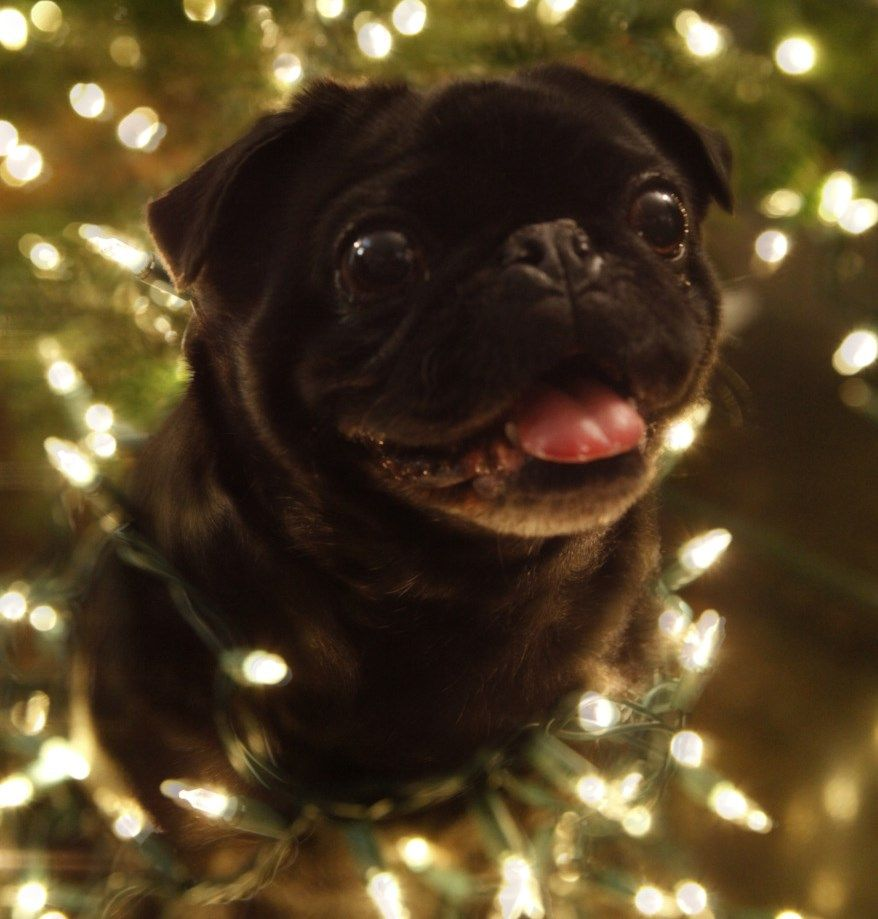 Pug Wallpaper Screensaver Background Black Pug Christmas Pug Love Pugs Cute Dogs