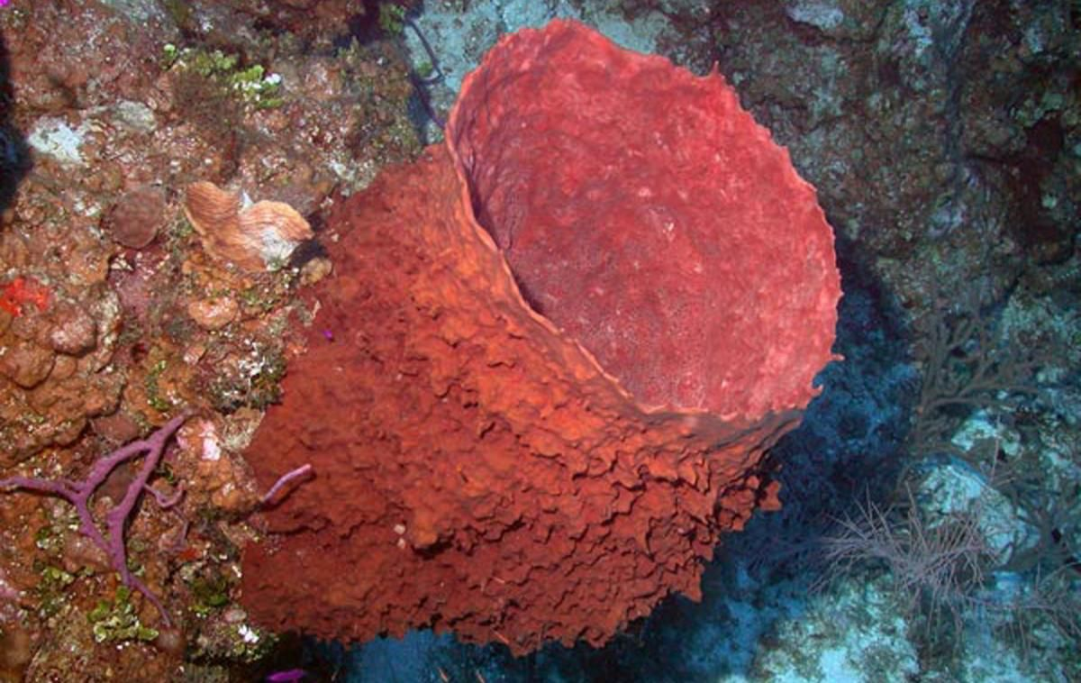 Giant Barrel Sponge | Oceana