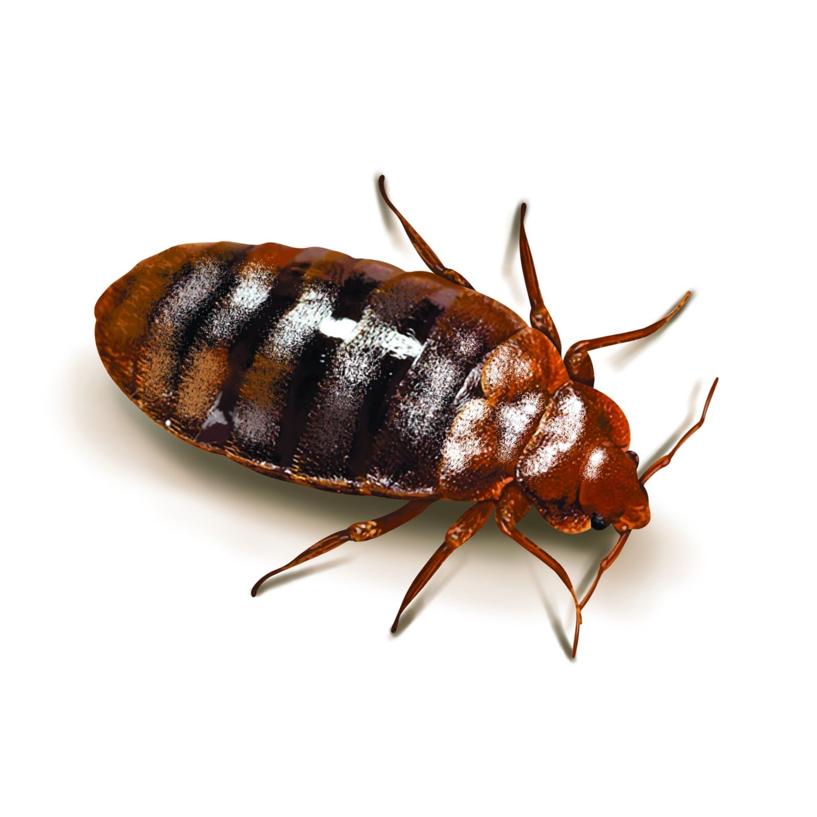 Many people have a fear of seeking remedies for bed bugs