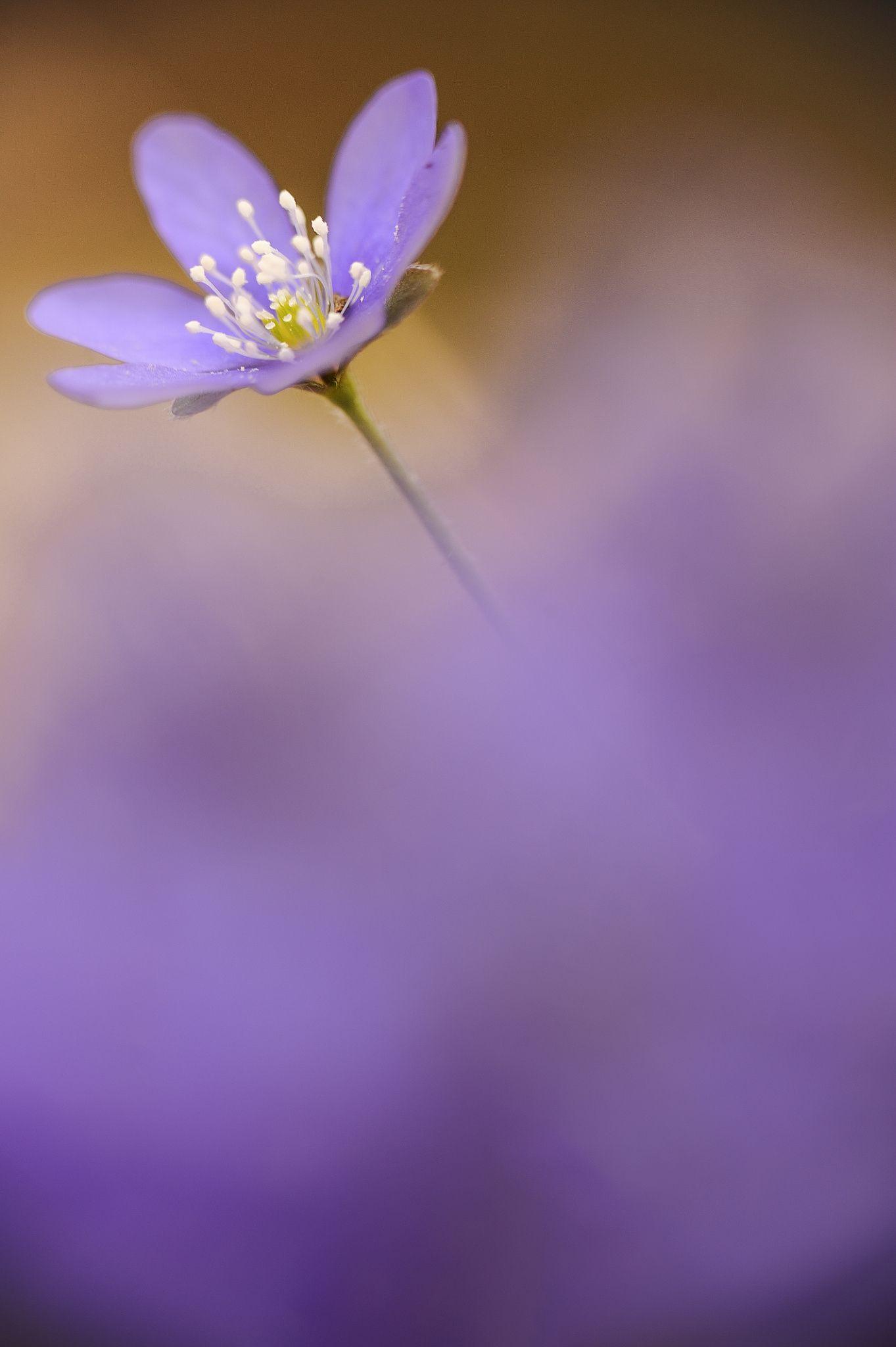 Hepatica Nobilis By Quadri Ulisse On 500px Nobilis Flowers Wild Flowers