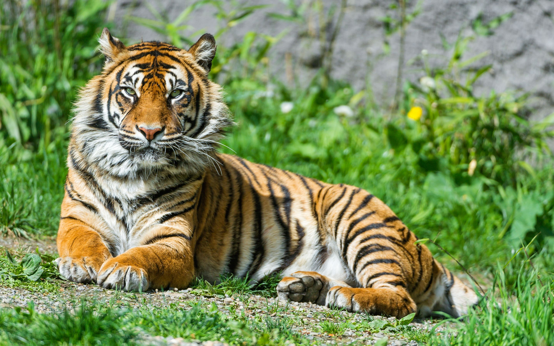 Sumartran Tiger Tiger Images Sumatran Tiger Pet Tiger