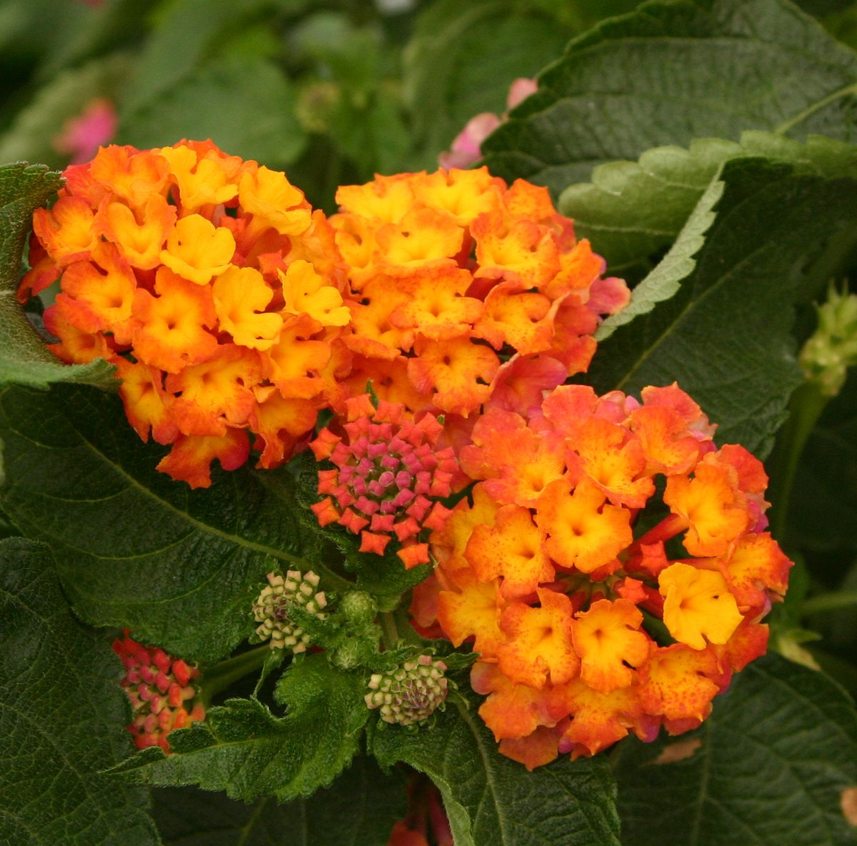 Confetti Lantana Camara Lantana Making Plant Pots Flower Pots