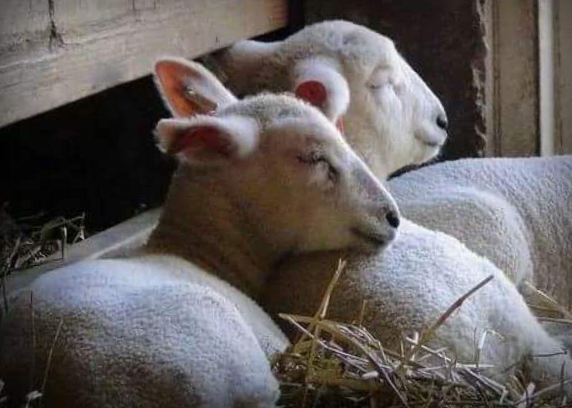 Free photo: Sheep and Lamb - Animal, Farm, Flock - Free