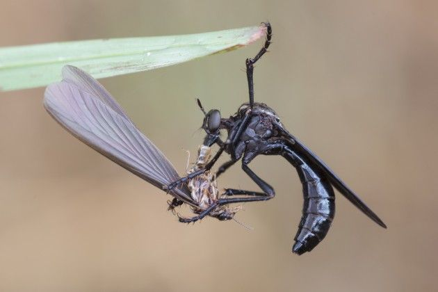 """An a ssassin fly (""""Pegesimallus sp."""") eating a termite by sucking its dissolved tissue (Photo by Rob Felix)"""