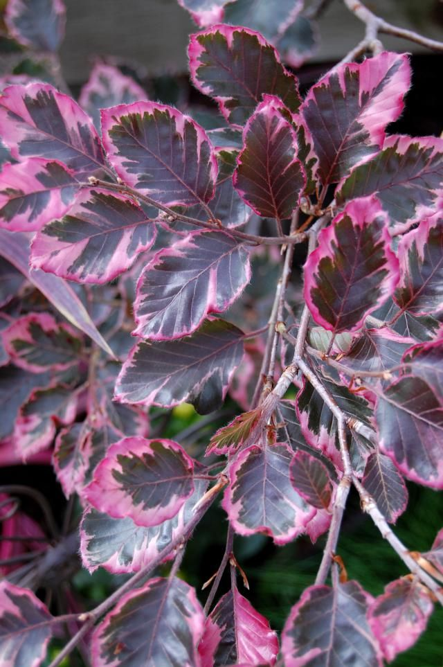 The Tricolor Beech Pink White And Green Leaves Birch Tree Leaves Pink Leaf Plant Trees To Plant