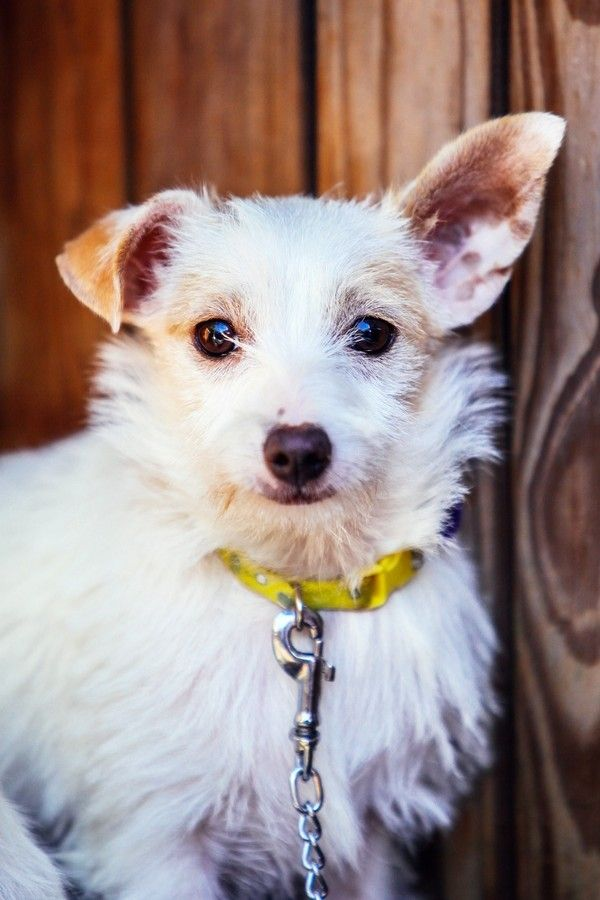 Lilo Jack Russell Terrier Mix Dog Waiting Jack Russell Jack Russell Terrier