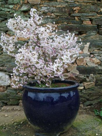 Prunus Incisa Kojo No Mai Deciduous Shrubs Garden Plants Design Plants Shrubs