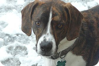 Aurora Il Basset Hound Boxer Mix Meet Banjo A Dog For Adoption Basset Hound Mix Super Cute Animals Basset Hound