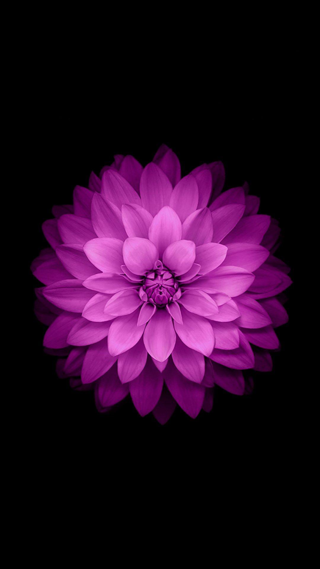 Iphone 6 Plus Wallpaper Official Purple Lotus Flower Flower