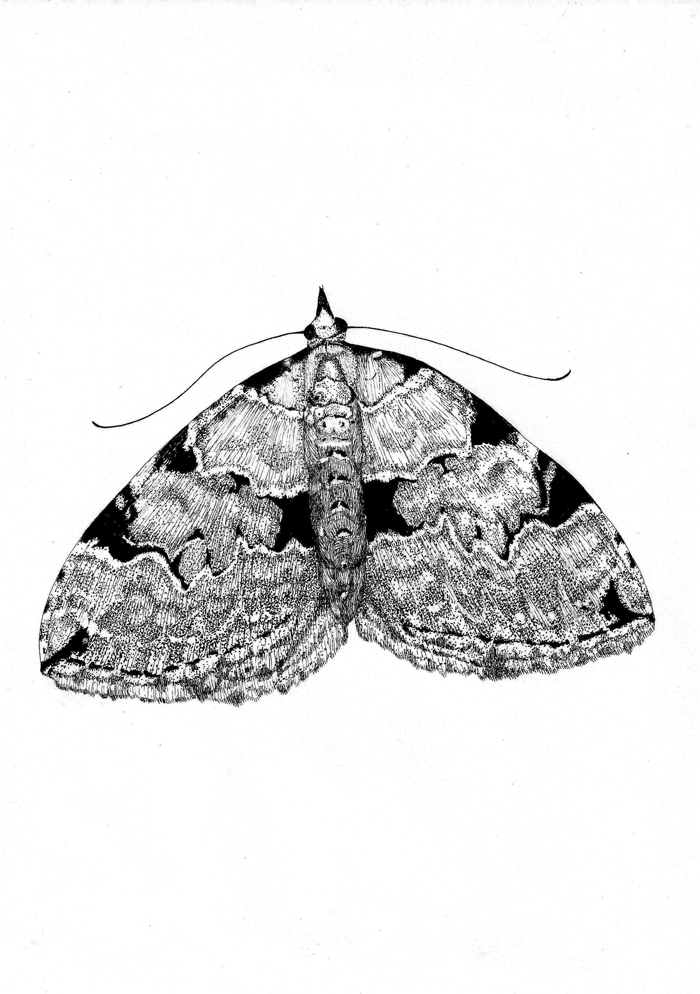 Moth Illustration Ink Drawing Pen Drawing From Etsy Tuschezeichnung Federzeichnung Motte Nachtfalter Motte Zeichnung Tuschezeichnungen Inspirierende Kunst