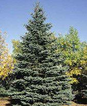 Christmas Tree Farm Arizona.Arizona Christmas Tree Farm In Flagstaff Cut Your Own