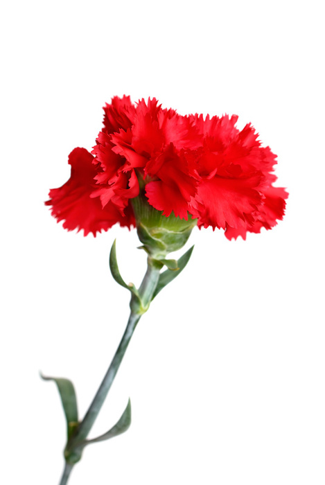 Grower Direct Flowers For Drying In 2020 Flowers Amazing Flowers Carnation Flower