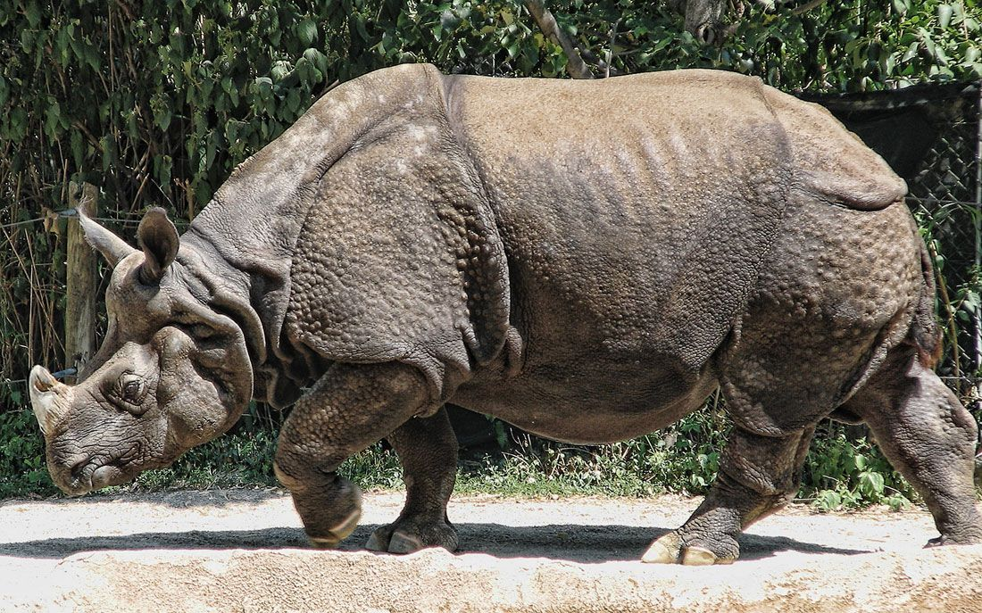 Indian rhinoceros Поиск в Google Indian animals
