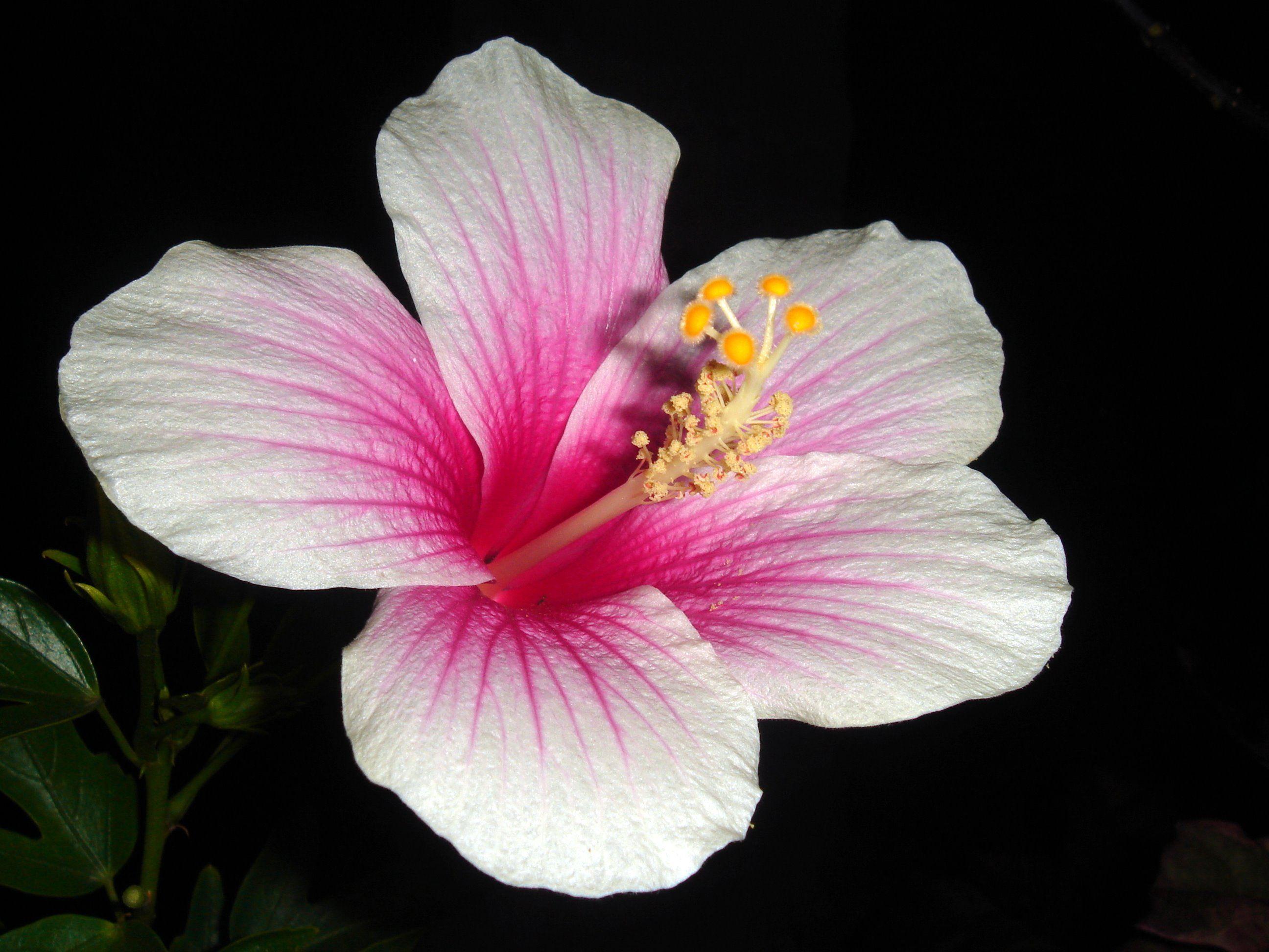 Hibiscus Rosa Sinensis Hibiscus Rosa Sinensis White Hibiscus Hibiscus