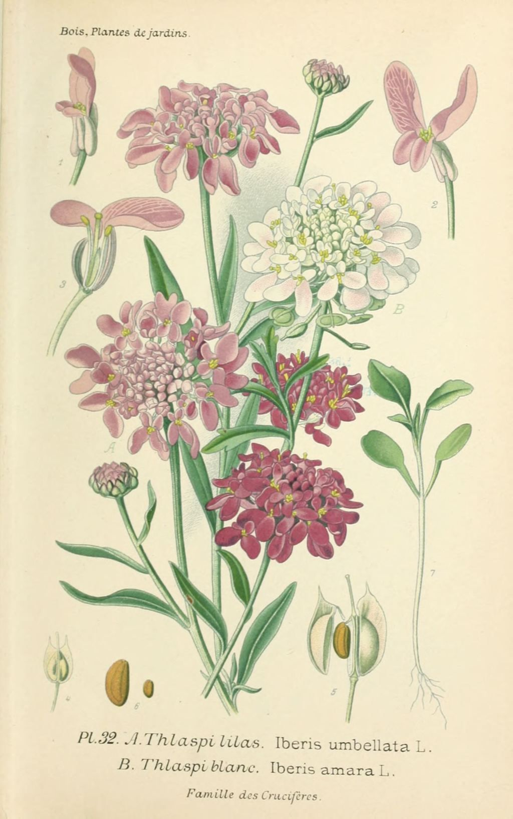 gravures fleurs de jardin - gravure de fleur de jardin 0073