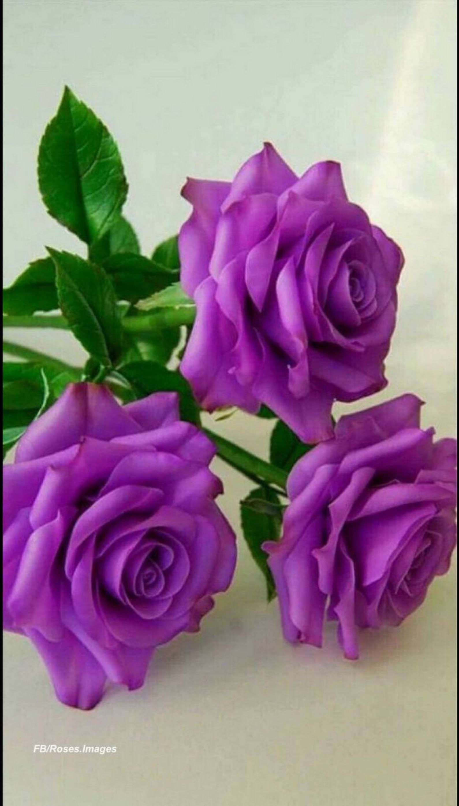 Anam Ahmad Google Beautiful Rose Flowers Purple Roses Purple Flowers