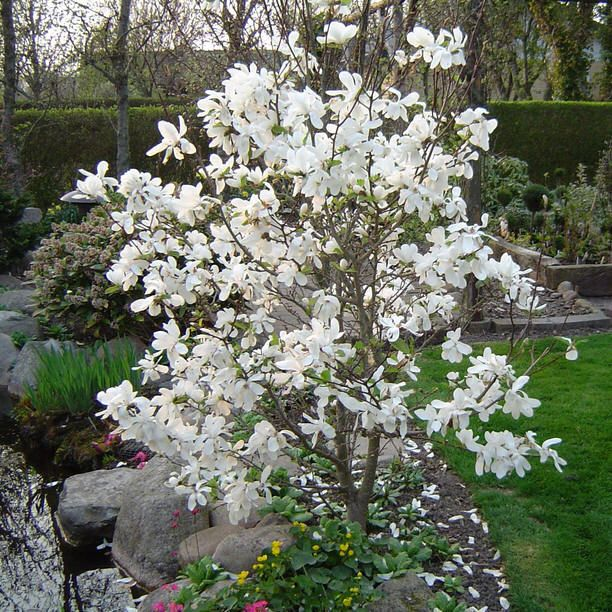 Magnolia Tree Charismatic Planet Tree Garden Design Garden Trees Magnolia Trees
