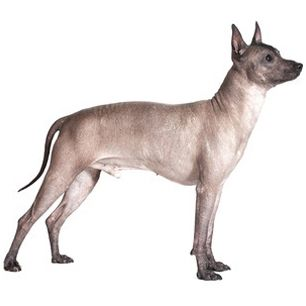 Xoloitzcuintli Toy Mexican Hairless Mexican Hairless Dog