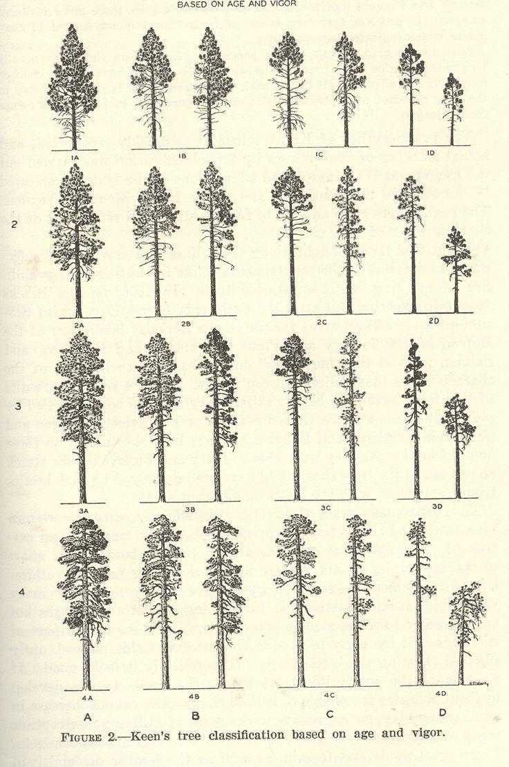 Keen 39 s tree clasification rboles pinterest simple for Ponderosa pine tattoo