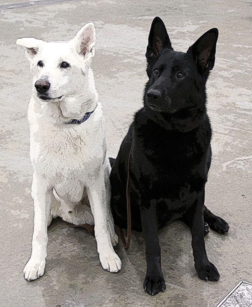 A White & Black German ShepherdAWESOME! German