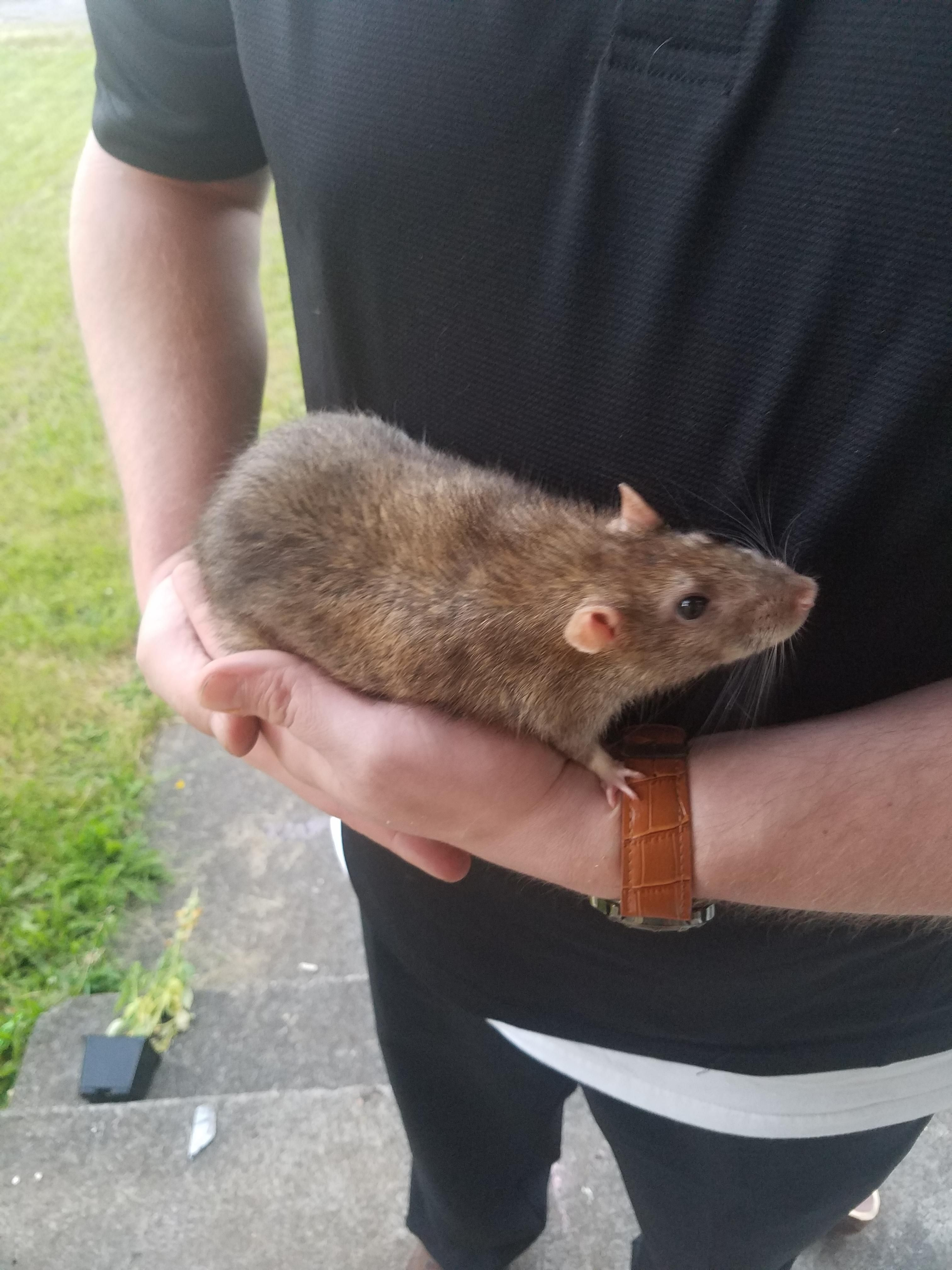 Awe I Have A Rat Just Like This Named Big Boy Adorable