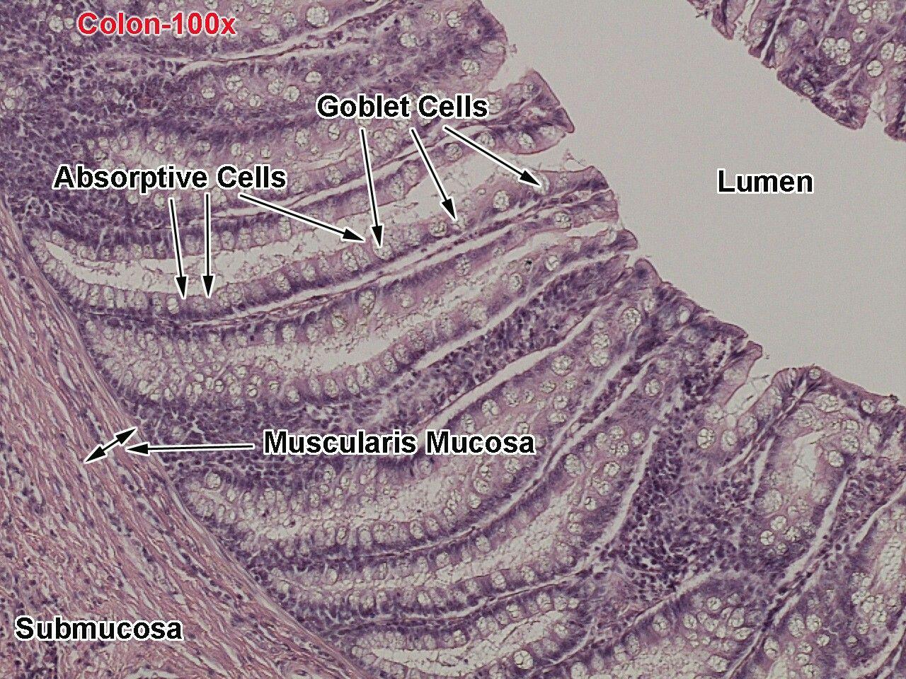 Lg Intestine Histology Note Many Goblet Cells Few
