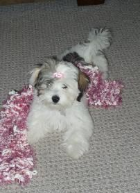 Welcome To Yuppy Puppy Havanese Breeders Of Quality Havanese Havanese Breeders Havanese Havanese Puppies